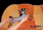 китайская хохлатая собака голая 200