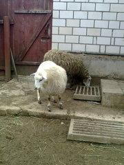продам 2-ух овец