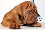 Продам щенка Бордоского дога