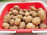 продам картофель оптом из белоруссии
