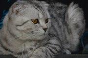 Шотландский вислоухий кот окраса Вискас приглашает подругу в гости