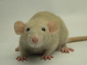 крысы декоративные и экзотические породы дамбо