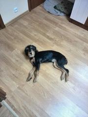 Пятимесячный щенок,  помесь английского спаниеля и терьера