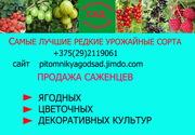 саженцы  клубники из питомника РБ г.Витебск.