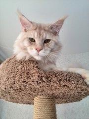Кот породы мэйн-кун ищет подругу для вязки.