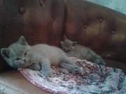 Британские котята от породистых родителей.