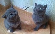Британские короткошерстные котята