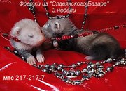 Предлагаются к продаже прекрасные щеночки хорьков(фретки)