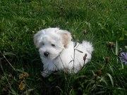 Продам щенка мальтийской болонки ( мальчик, родился в июле).Все прививк