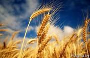 Закупаем в больших объёмах фуражное зерно