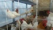 Продаю семьи мини-мясных кур