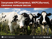 Закупаем Быков,  Коров,  Свиней живым весом.