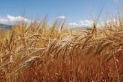 Куплю ячмень,  пшеницу