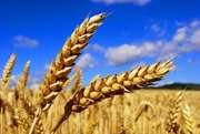 Покупаем зерно ДОРОГО