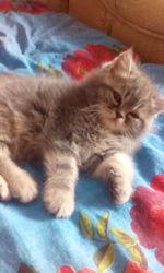 экзотические плюшевые котята,